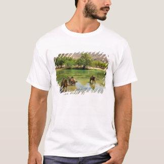Omán, darbat del lecho de un río seco, dromedarios playera