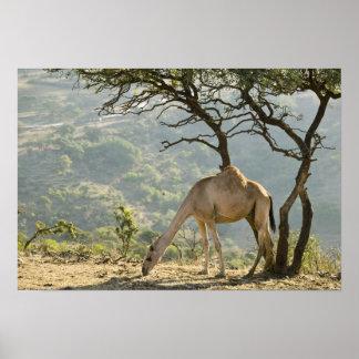 Oman, Dhofar Region, Salalah. Camel in the Poster