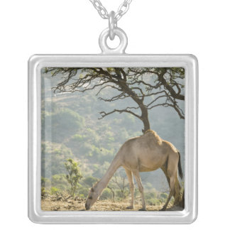 Oman, Dhofar Region, Salalah. Camel in the Silver Plated Necklace