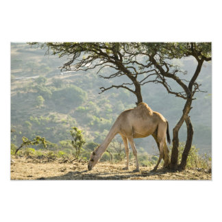 Omán región de Dhofar Salalah Camello en Fotografía