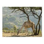 Omán, región de Dhofar, Salalah. Camello en Tarjeta Postal