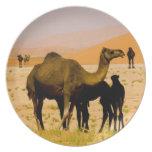 Oman, Rub Al Khali desert, camels (dromedaries), Party Plate