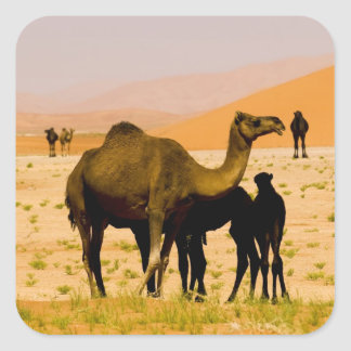 Oman, Rub Al Khali desert, camels (dromedaries), Square Sticker