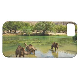 Oman, Wadi darbat, dromedaries pasturing in the iPhone 5 Covers