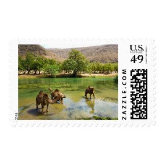 Oman, Wadi darbat, dromedaries pasturing in the Stamp