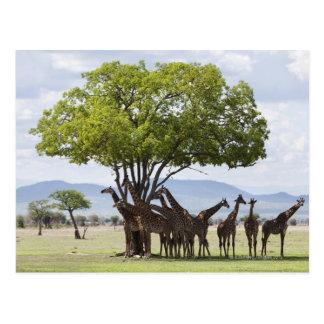 On safari in Mikumi National Park in Tanzania, Postcard