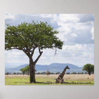 On safari in Mikumi National Park in Tanzania, Poster
