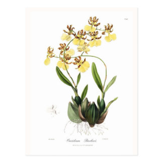 Oncidium Barkeri Postcard