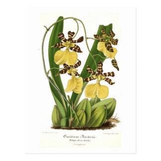 Oncidium barkerii post card