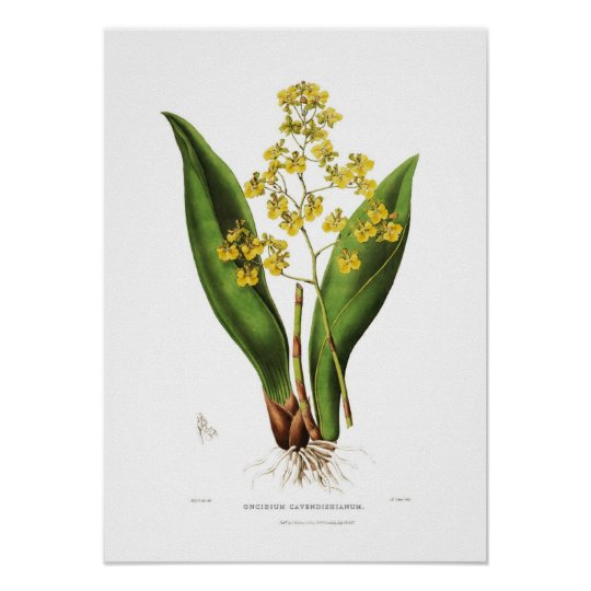 Oncidium cavendishianum by Miss S A Drake. Poster