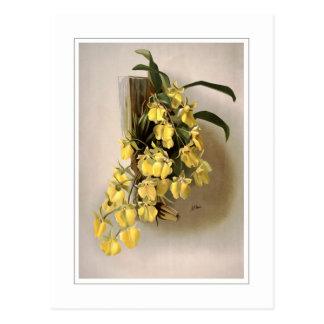Oncidium concolor postcard