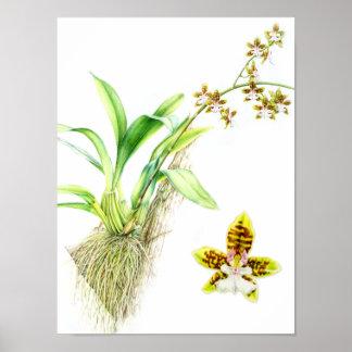 Oncidium Leucochilum fine art orchid watercolor Posters