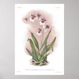 Oncidium phalaenopsis poster