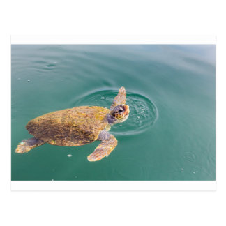 One big swimming sea turtle Caretta Postcard
