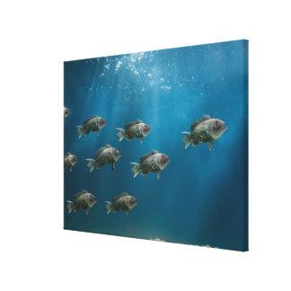 One black sea bass leading a school canvas print