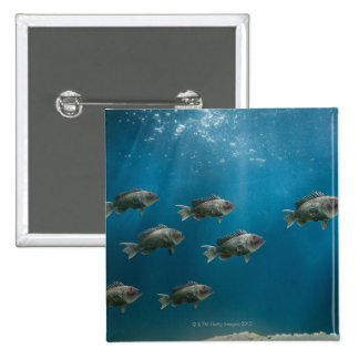 One black sea bass leading a school pinback button