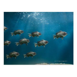 One black sea bass leading a school postcard