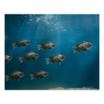 One black sea bass leading a school poster