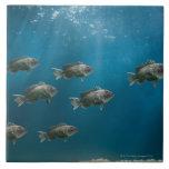 One black sea bass leading a school tiles