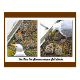 One Day old Gull Chicks Postcard