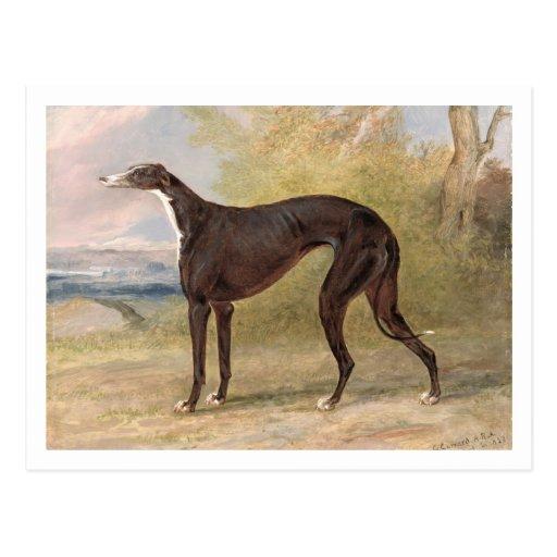 One of George Lane Fox's Winning Greyhounds: the B Postcards