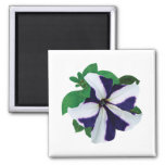 One Purple and White Petunia Magnet