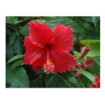 One red hibiscus postcard