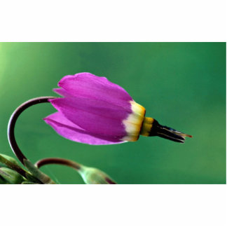 One shooting star flower against green photo cut out
