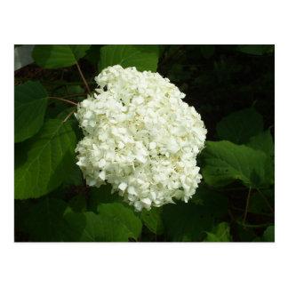 One Snowball Bloom Postcard