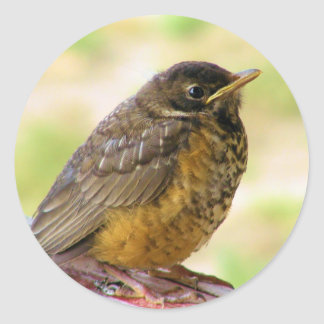 One Week Old Robin On a Perch Classic Round Sticker