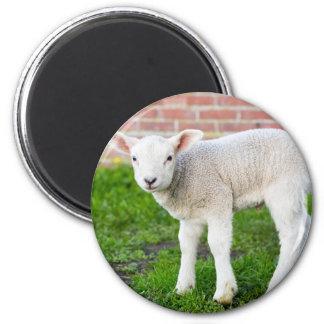 One white newborn lamb standing in green grass magnet