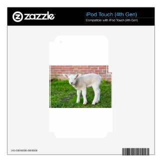 One white newborn lamb standing in green grass skin for iPod touch 4G