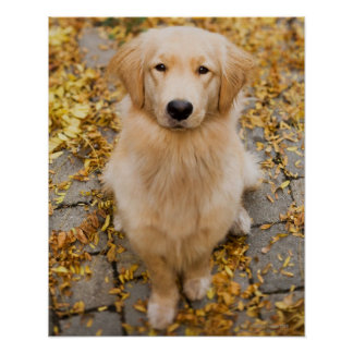 One year old Golden Retriever, portrait Poster