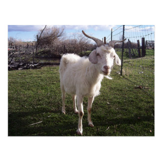 One Young Goat Postcard