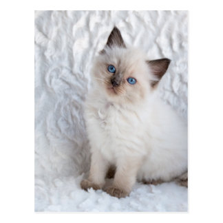 One young ragdoll cat sitting on fur in chair postcard
