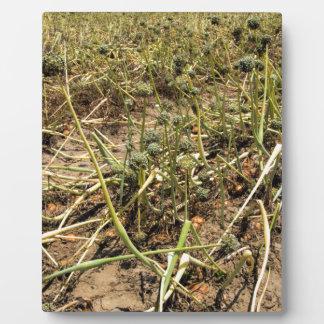 Onion Field Landscape Plaque