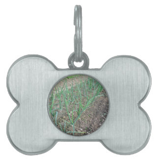 Onion plants in rows in the garden pet name tag