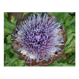 Open Artichoke Flower. Purple. Postcard