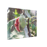 Open fig on tree in Spain Stretched Canvas Print