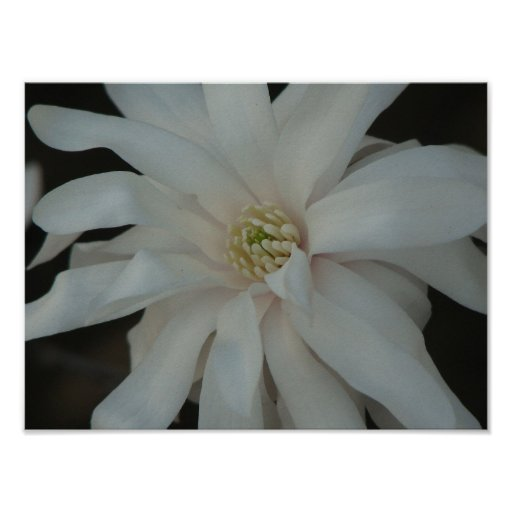 Open Magnolia Centennial Bloom Poster