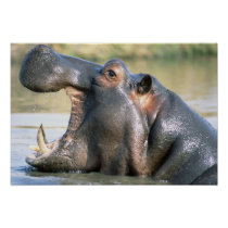 Open Mouthed Hippo Poster