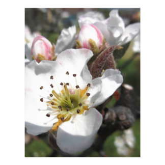 Open white apple flower and closed buds in spring letterhead