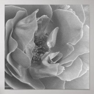 Opening Rose Poster