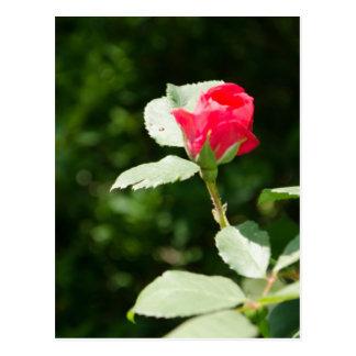 Opening Rosebud Post Card