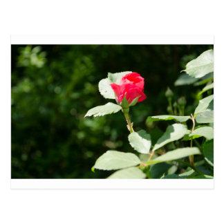 Opening Rosebud Post Cards