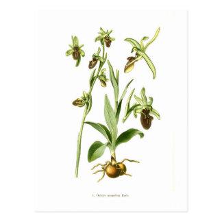 Ophrys araneifera post cards