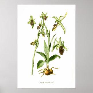 Ophrys araneifera poster