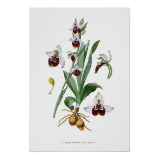 Ophrys fuciflora poster