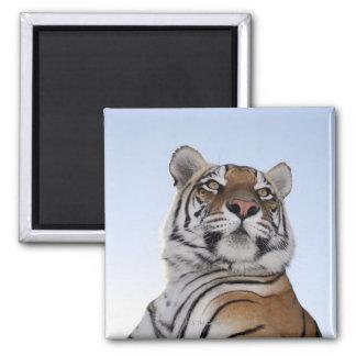 Opinión de ángulo bajo un tigre (Panthera el Tigri Imán Cuadrado