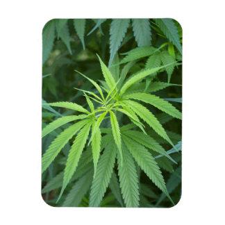 Opinión del primer de la planta de marijuana, imán de vinilo
